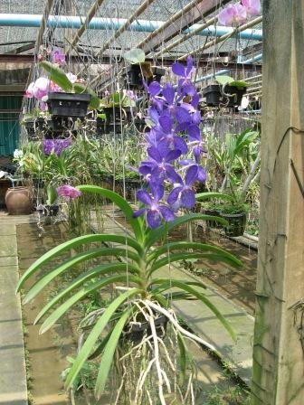 1000 images about orchideen und garten on pinterest mosaics vanda orchids and fragrance. Black Bedroom Furniture Sets. Home Design Ideas