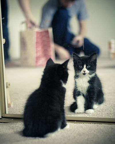 #tuxedo #kitten