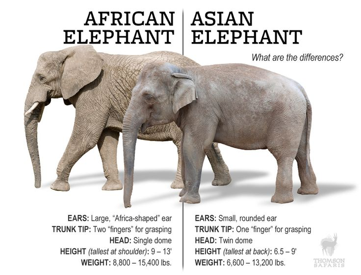 There are numbers of difference between african and asian elephants, including the size of their ears, gripping ability of their trunks, and general size.