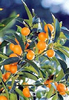 How to Grow a Kumquat Tree from a Kumquat Seed! My gym trainer gave me a baggie, now it's time to grow my own!