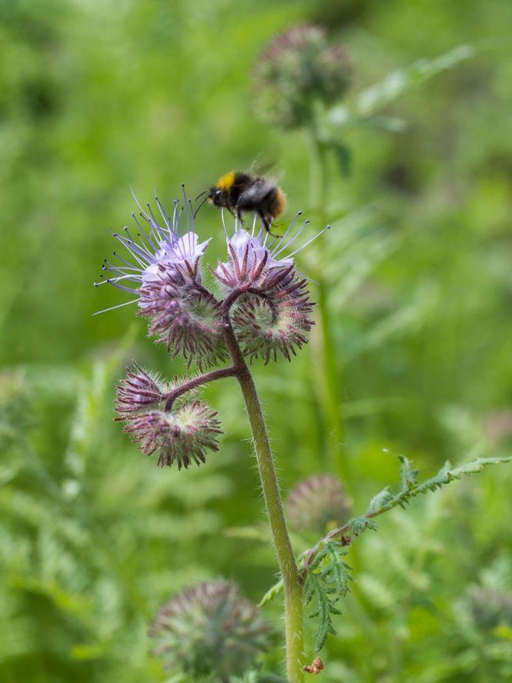 Humlenes definitive favoritt i hagen for tiden er honningurten!