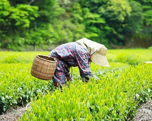 31 best Tea Gardens images on Pinterest | Green teas, Tea gardens ...