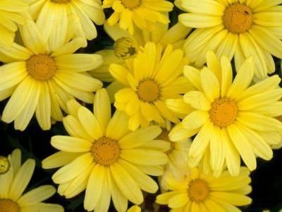 Yellow Daisies, Bellevue Botanical Garden, Washington, USA Photographic Print by Jamie & Judy Wild at Art.com