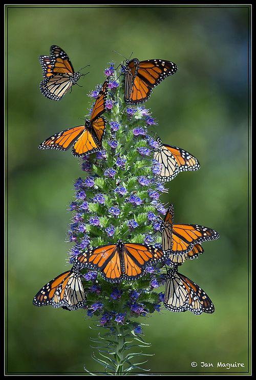 """Monarchs on Pride of Madeira 8496 by maguire33@verizon.net / """"Nossa vida é feita de mudanças, transformações, metamorfoses. Nunca se acomode."""" (Fredson Costa)"""