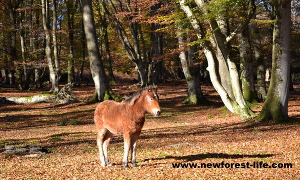 New Forest foal in autumn sun