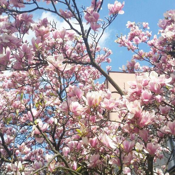 #spring #magnolia #flowers #tree #amazing #beautiful #perfecthome