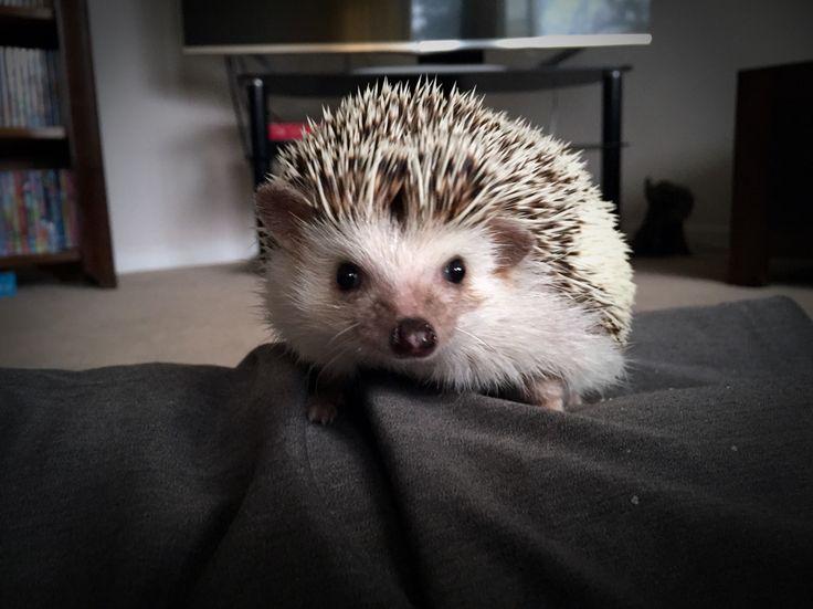 Hey what do you know I'm three years old already! #africanpygmy #hedgehog