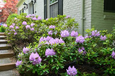 Rather than evergreens, if the area receives cooler morning sun try a line of hydrangea or rhododendrons. There are new varietels every year, but stick with tried and true varietels like Annabelle, Samantha, or Nikko Blue for a high traffic area like the front of the house.  Leave the dried moppy heads on in the fall for winter interest.