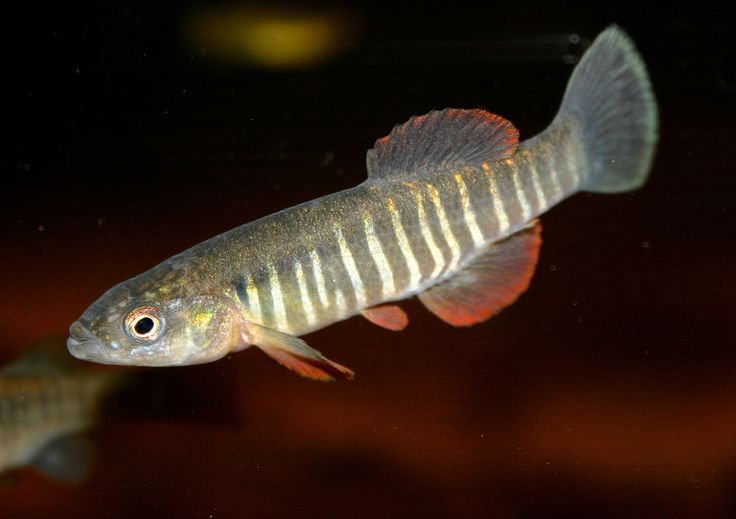 602 best fish killifish images on pinterest aquarium for Freshwater fish in texas