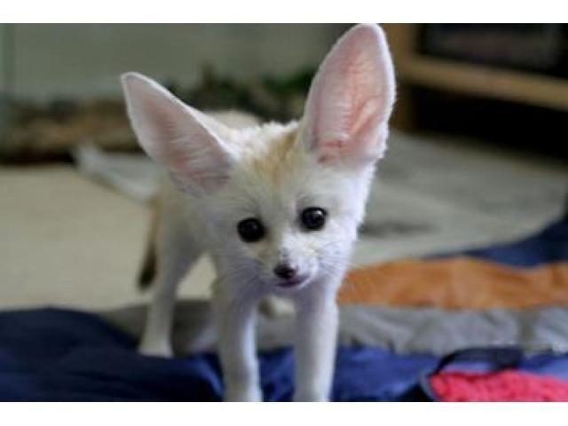 242 best fennec fox images on pinterest foxes wild - Pagina da colorare fennec fox ...