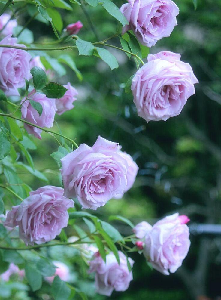玄関の画像 by tamiさん | 玄関とバラとブルームーンとバラを楽しむと能登便りとバラのアーチと庭の花と薔薇コンテスト