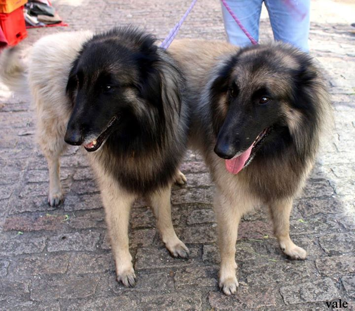 Le chien de Tervueren est l'une des quatre variétés de la race bergers belges née au début du xx e siècle Apprentissage Il a besoin d'un dressage tendre, mais strict, il ne supporte pas les coups, et on obtient de bien meilleurs résultats avec un dressage...