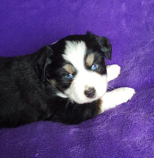 Miniature Australian Shepherd puppy for sale in GOLDENDALE