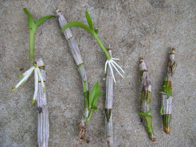 Fazer Muda de Orquídea Keiki, UTI e Estufa para Criar novas Plantas salvar orquídeas doentes e fracas dicas de criar mudas de orquídeas com galho que floriu