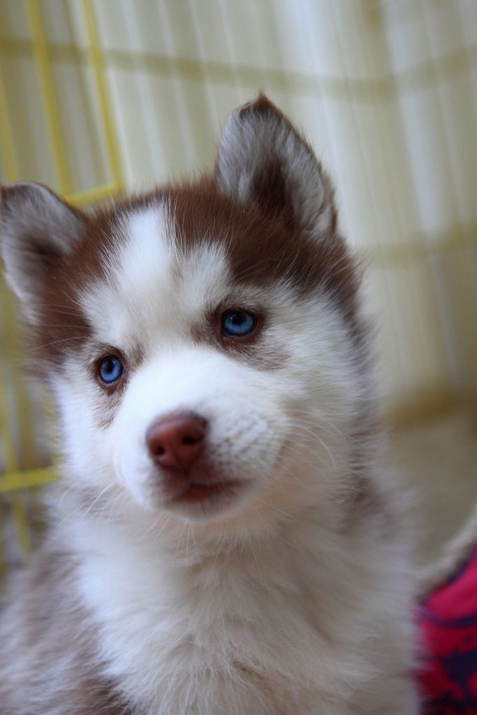 dog with blue eyes...very nice...get a look on healthy dog food if you like on .. https://www.bathroom-units.com/