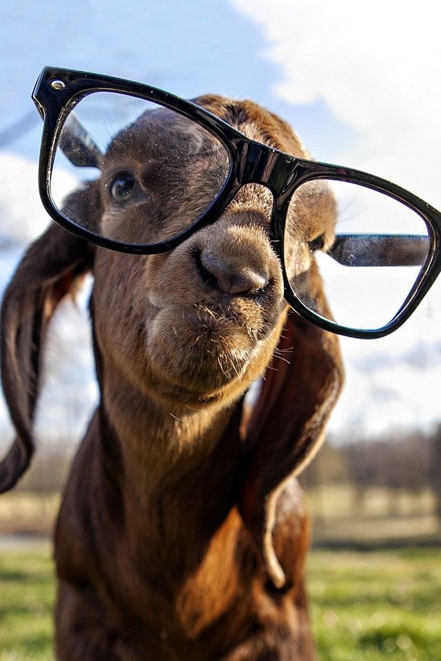 Theze are for u nerds that be looking cool👏👏👏 | Nerd | Animals, Goats, Baby goats
