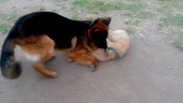 Danko 19 months old Bruno 4 months old Cid Campeador