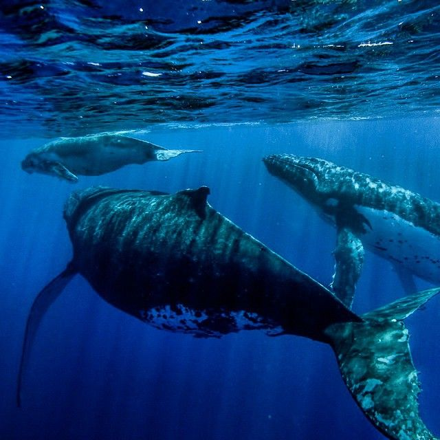 Taken by Trevor Frost National Geographic Photographer ~ A color photo of humpbacks in Tonga @eddiebauer #liveyouradventure #tonga #whales #whale #ocean #sea #marine #humpback #seashepherd #