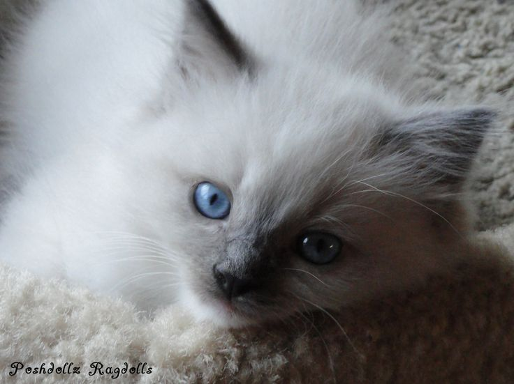 Blue Point Cat Kitten