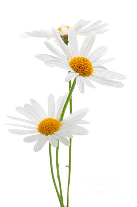 Daisies on white background fine art photography print - Copyright © Elena Elisseeva