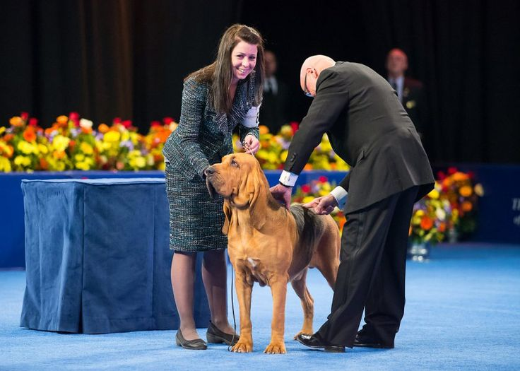 Nathan the Bloodhound Wins the National Dog Show for His Best Thanksgiving Ever