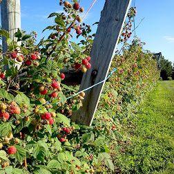 Нет ягод на малине, почему? или как получить небывалый урожай малины. Первое и…