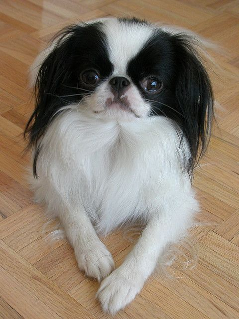 The Japanese Chin originates from Japan and was bred originally as lapdogs and companions. It's origins can be dated back to Ancient Times in both Japan and China. It is said that the Japanese Chin was kept in birdcages by the Japanese imperial family.