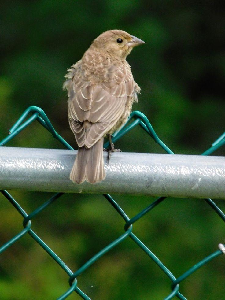 Cowbird, young female, back view. / S.Dorman's photo  08-15-17 NJ