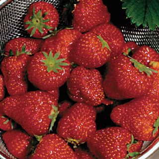 """#Berries Quinalt Strawberry Plant:  These are the biggest, softest, juiciest, most delectable strawberries you can find for fresh eating! 'Quinalt' is """"the"""" name for giant, delicious berries, and if you've got even one strawberry lover in the family, you owe it to them to grow this easy, high-yielding plant!"""