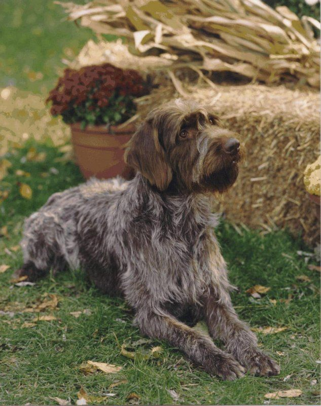 Image Detail for - Wirehaired Pointing Griffon dog breed infromation, pictures ... looks like Nasby