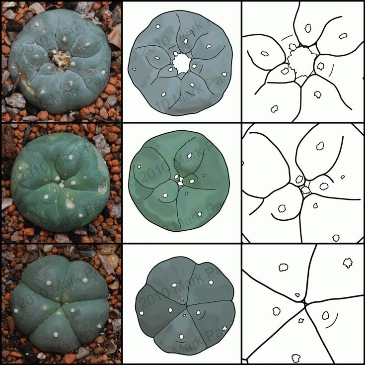 Peyote- Lophophora williamsii is a small cactus native to Mexico, Texas and New Mexico.