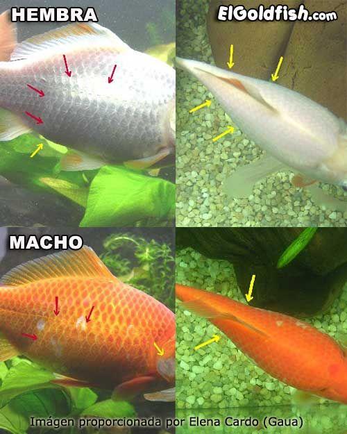 Las 25 mejores ideas sobre peces de acuario en pinterest y for Los mejores peces de agua fria