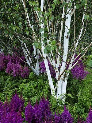 White birch, ferns and purple astilbe