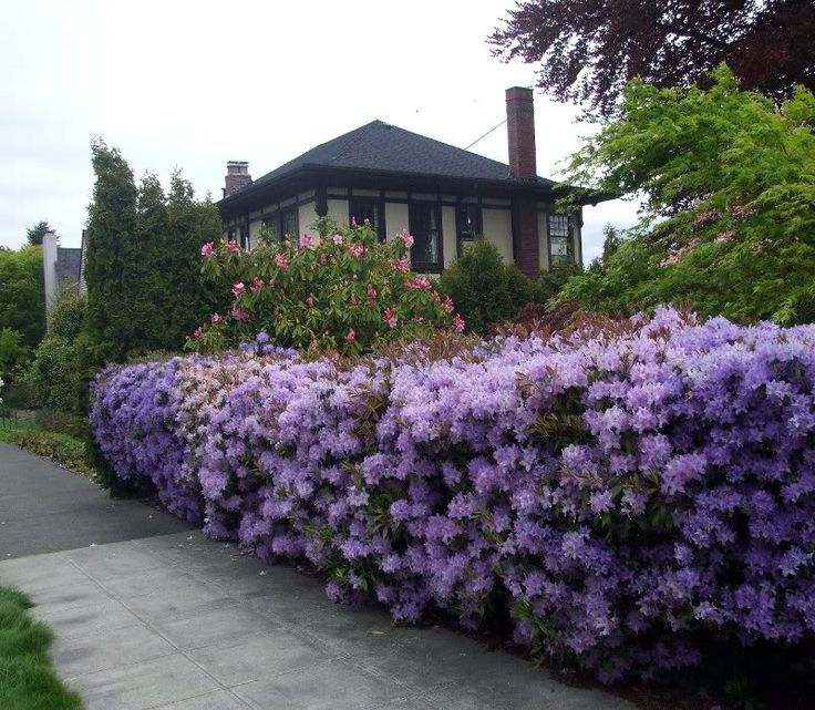 Lawn Hedges: Rhododendron Used As A Hedge.