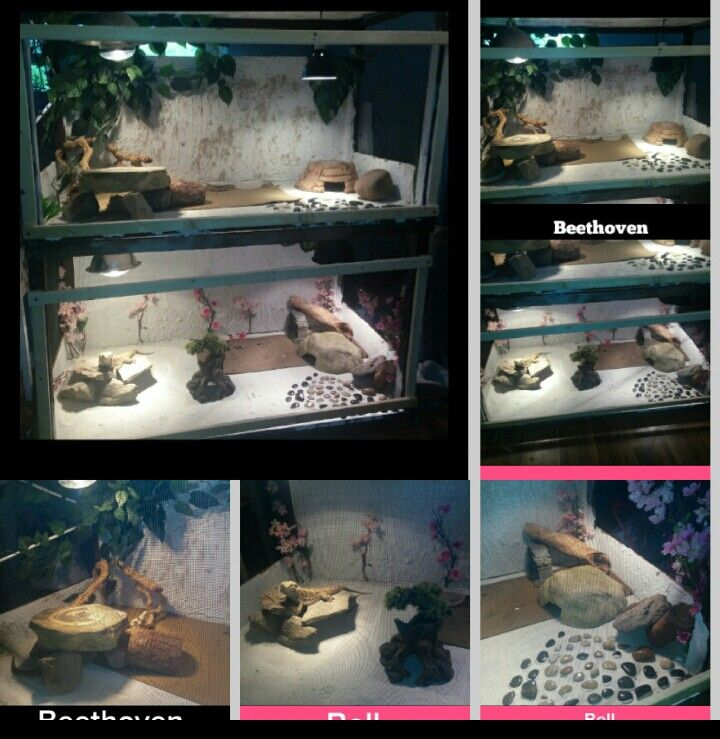 My bearded dragon cage that i used an old shelfing unit thats roughly 4' x 2' x 5'. Provides EACH dragon 1400sq inches of space a fish tank cant give them. I used tile grout as a substance.total cost: $35 !!!! I also had most of the materals #diy #dragon #dragoncage #home #dragonhome #cheap #moneysaving #wood #love #bearded #dragons #dragon