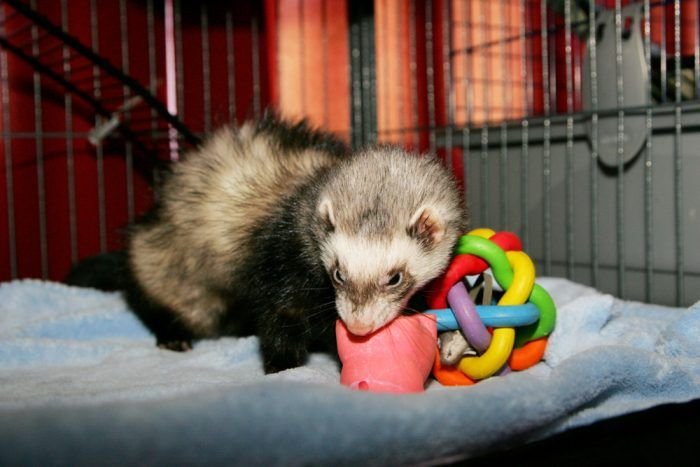 13 Best Ferret Toys 7 Items You Can Find At Home 2020 Ferret Ferret Toys Toys