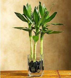 Water lotus bamboo plant-Indoor plants, home plants, water plants