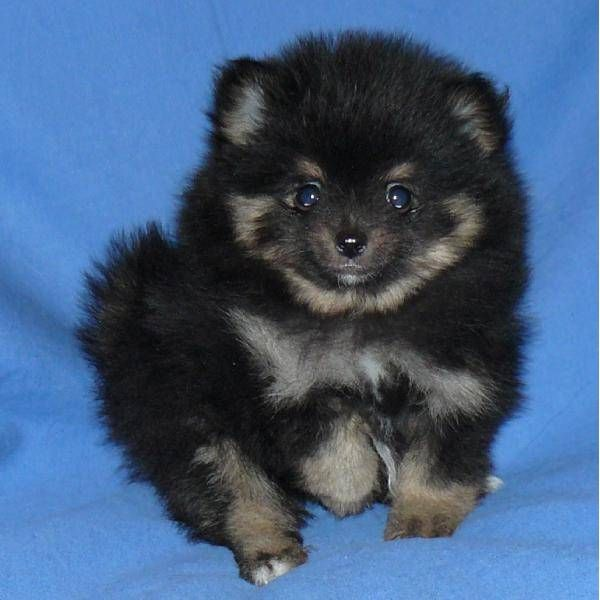 Black and Tan Teacup Pomeranian- this is the dog I've been searching for!