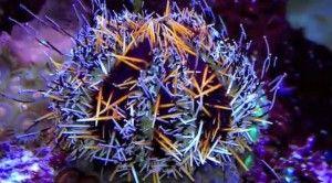 Tripneustes gratilla (Riccio di mare)