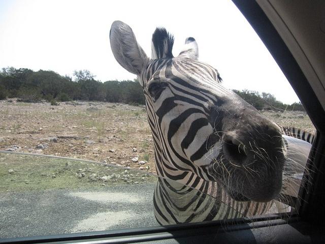 Natural Bridge Wildlife Ranch, San Antonio, Texas ~ LOL this happened to us last summer the zebras have no fear.