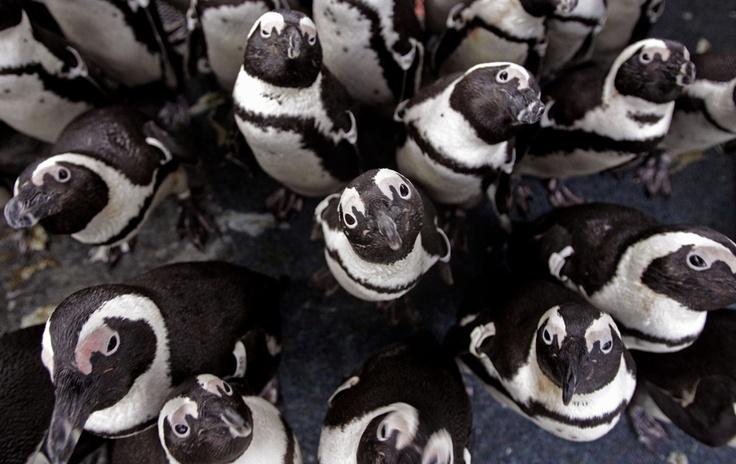 200 pinguins foram encontrados cobertos de óleo após um derramamento em Robben Island, na Cidade do Cabo, África do Sul. Os animais estão sendo atendidos pela Fundação Sul-Africana para a Conservação das Aves Costeiras e devem ser soltos na próxima semana