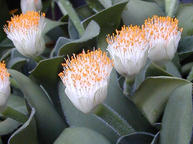 Haemanthus albiflos Jacq. (Paint-brush) is a species of flowering plant in the family Amaryllidaceae, native to South Africa. It is an evergreen bulbous perennial geophyte, prized horticulturally for its unusual appearance and extreme tolerance of neglect.
