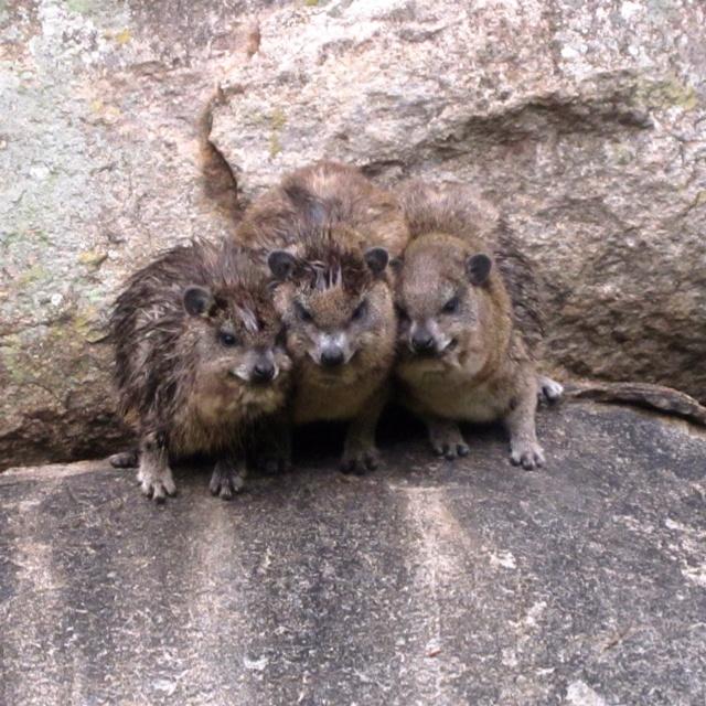 Rock hyrax in Tanzania! Cold after the rain <3