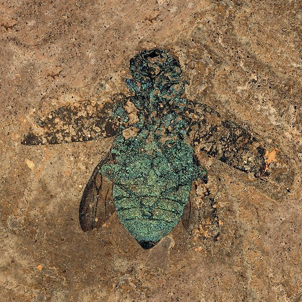 This Jewel Beetle, found in the Messel Pit in Germany, is 47 million years old. It still has its shimmering coat. Both ancient and modern jewel beetles sport their iridescent exteriors thanks to the way different layers in their outer body coverings refract light.