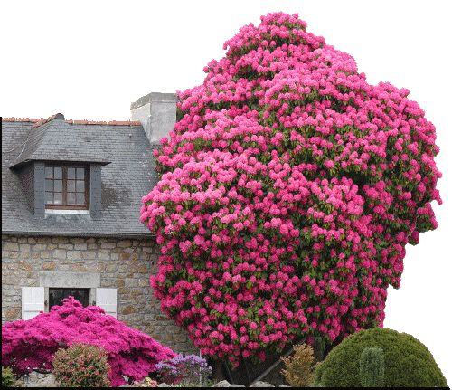 100 year old Rhododendron Tree