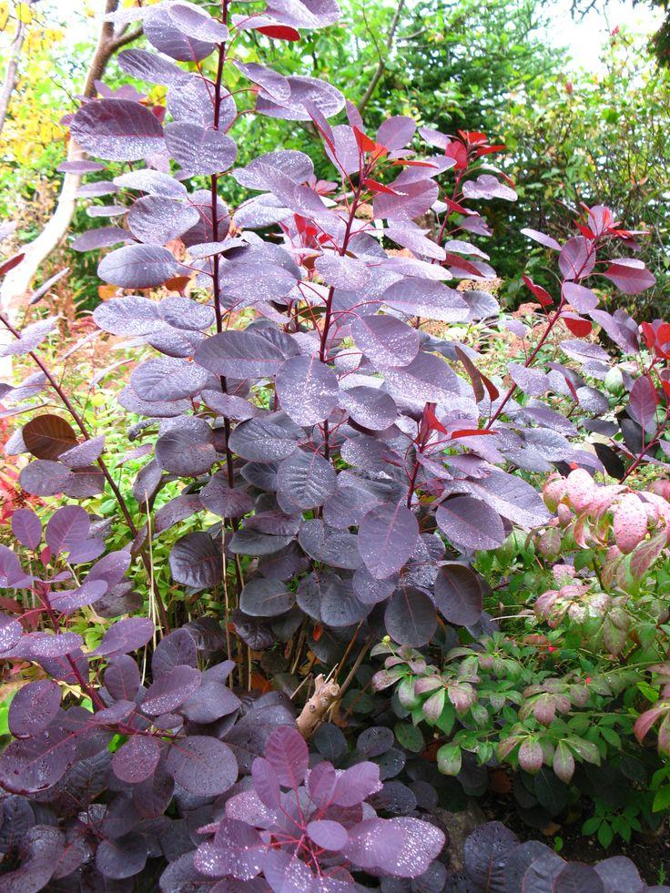 Cotinus coggygria 'Royal Purple' Smoke Bush