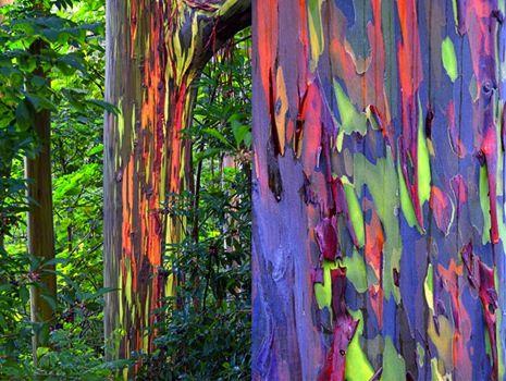 Philippines, le tronc de cet arbre original présente diverses couleurs en fonction de son âge, l'écorce est d'abord verte, puis bleue, violette, orange