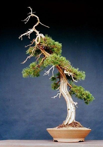 Juniper bonsai slanting style shakan bonsai for Literati bonsai gallery
