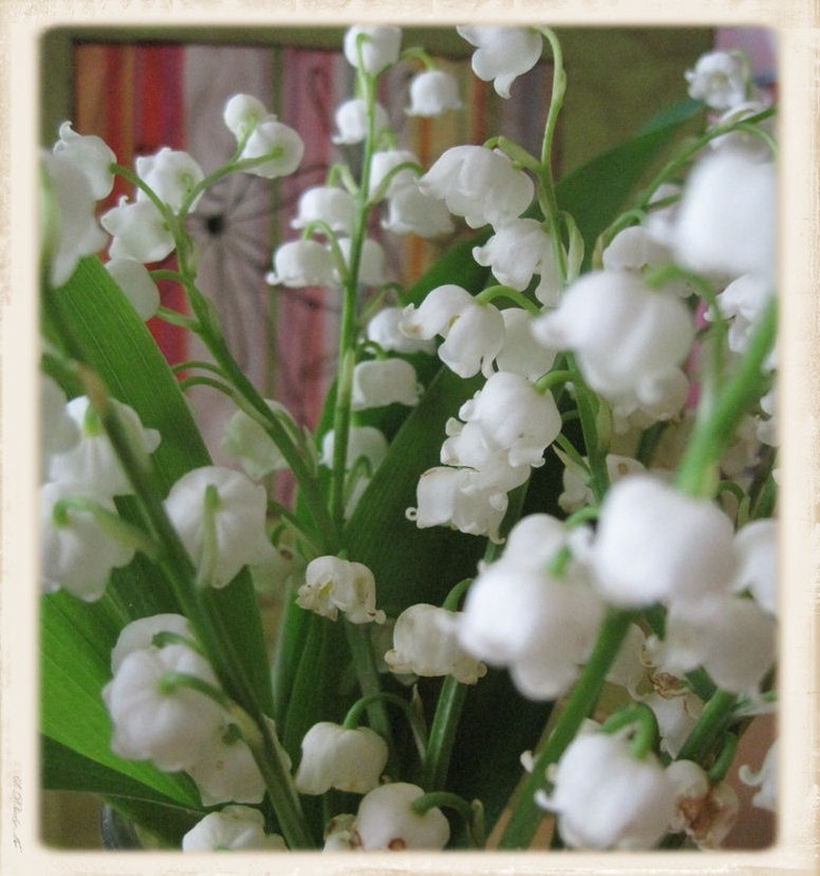 Lily Of The Valley So Pretty Hope Mine Will Grow