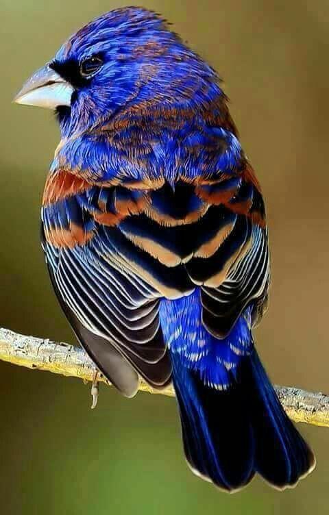 Preciosa ave